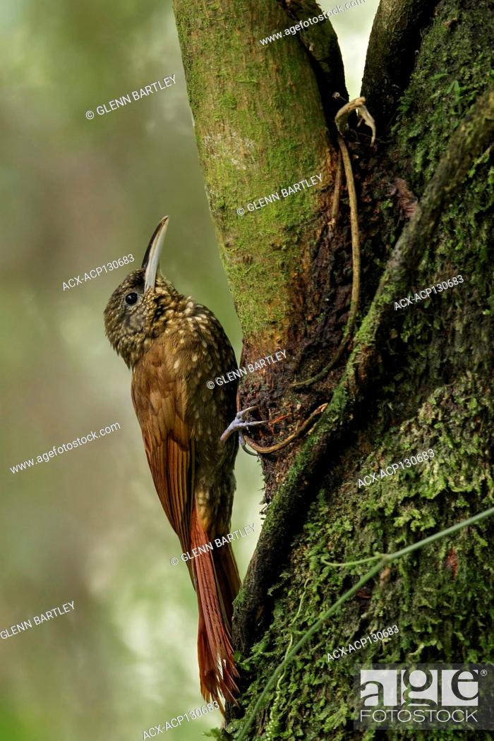 Stock Photo: Spotted Woodcreeper (Xiphorhynchus erythropygius) perched on a branch in Guatemala in Central America.