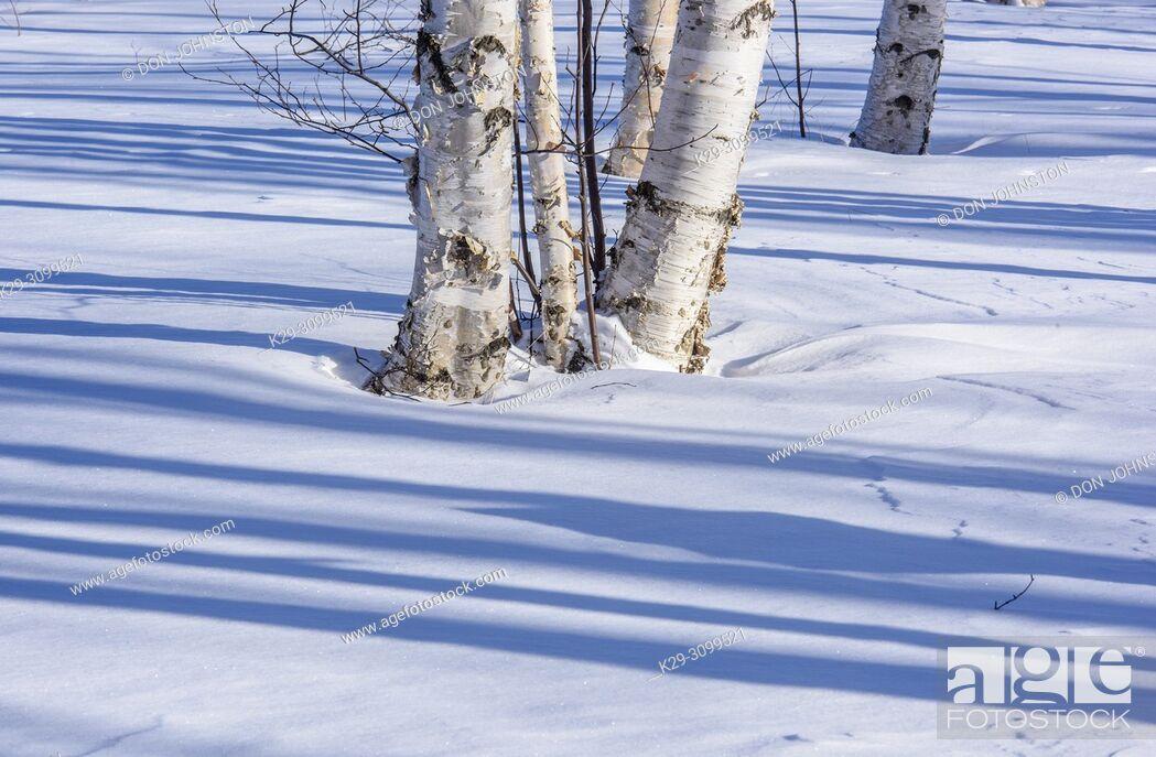 Stock Photo: Winter shadows in a birch woodlot, Greater Sudbury, Ontario, Canada.