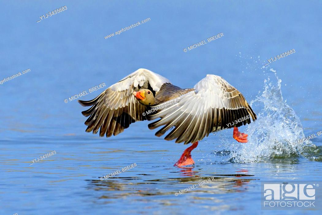 Stock Photo: Starting Greylag Goose (Anser anser), Hesse, Germany, Europe.