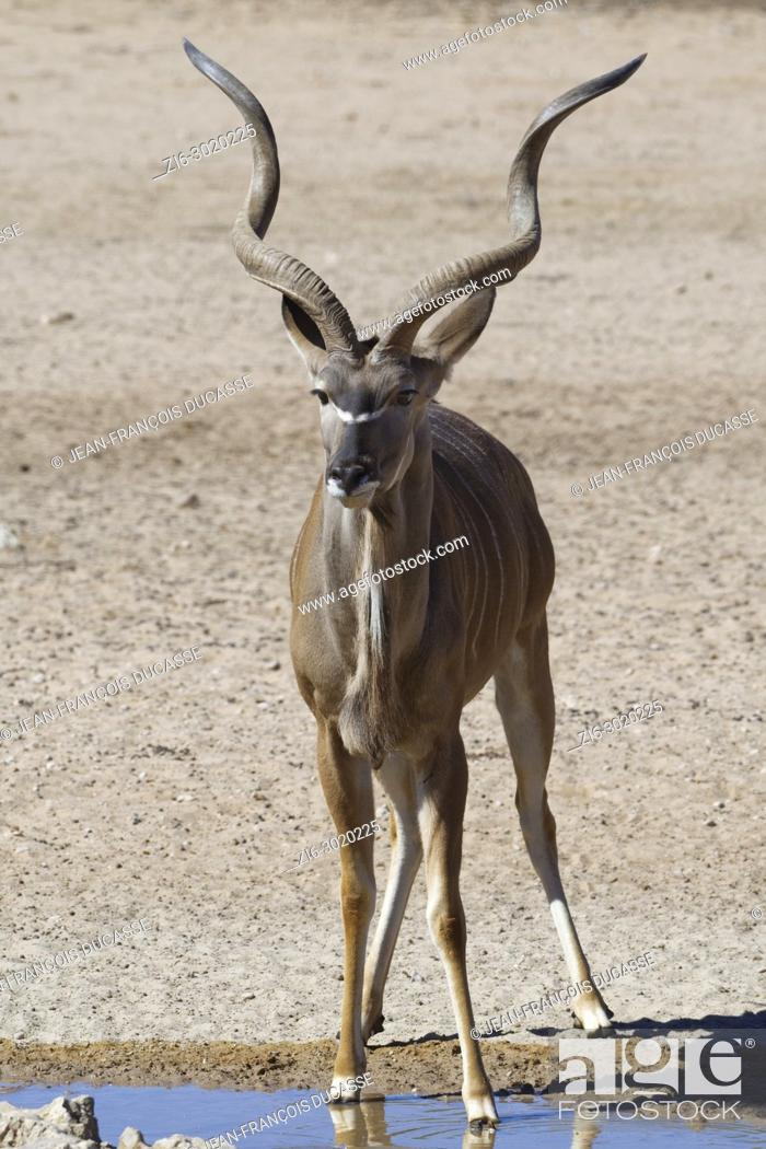 Stock Photo: Greater kudu (Tragelaphus strepsiceros), adult male standing at a waterhole, alert, Kgalagadi Transfrontier Park, Northern Cape, South Africa, Africa.