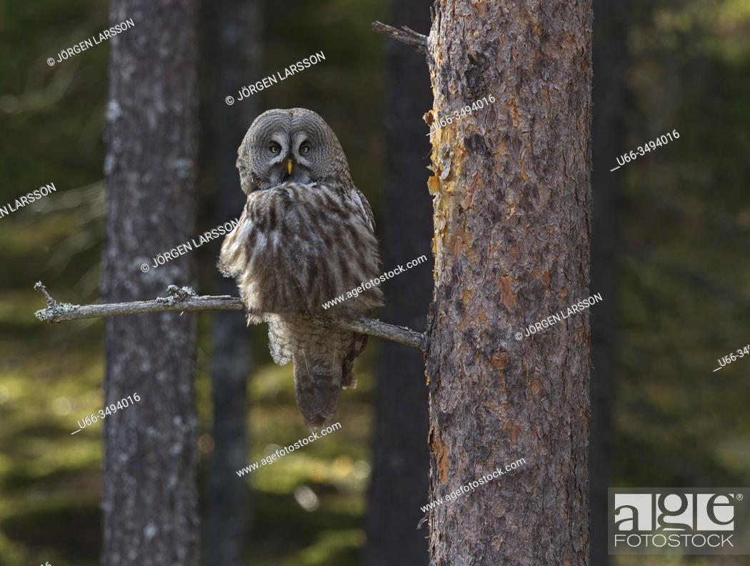 Imagen: Great grey Owl (Strix nebulosa). Gnesta, Sodermanland, Sweden.