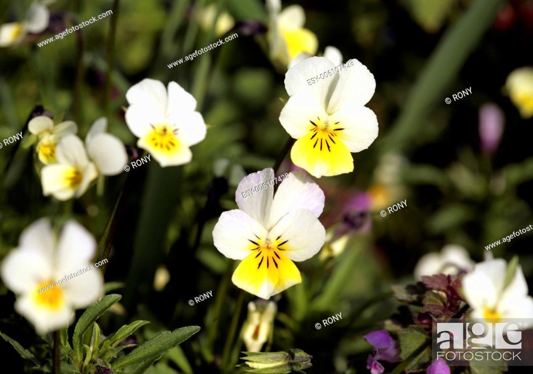 Stock Photo: Field pansy (Viola arvensis).