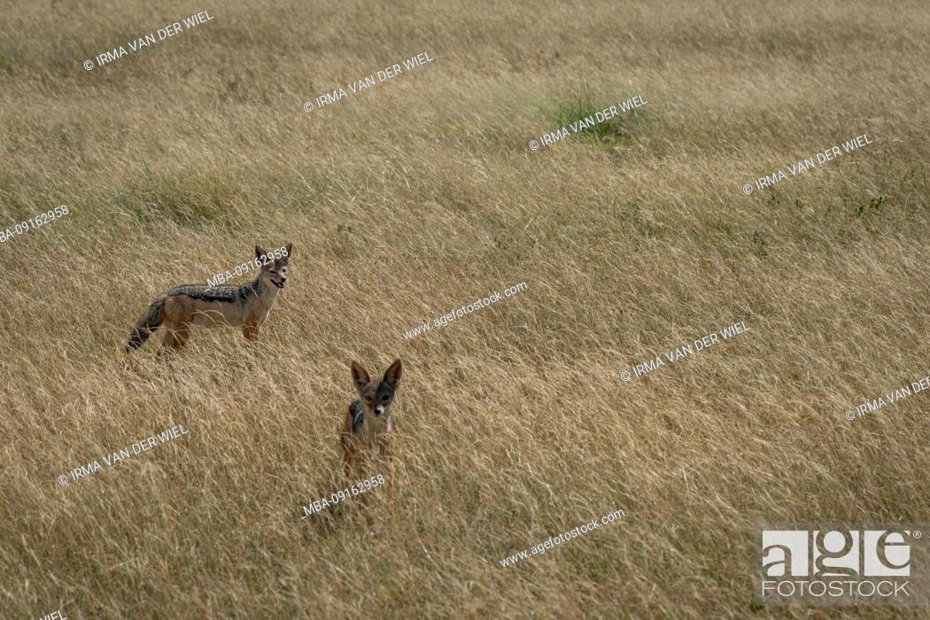 Stock Photo: Northern Tanzania, in May, National Parks Serengeti, Ngorongoro Crater, Tarangire, Arusha and Lake Manyara, two jackals in the savanna, golden wolf.