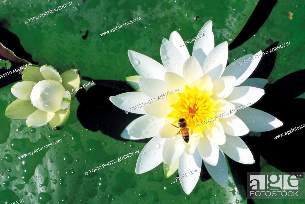 Stock Photo: A Bee On The Nymphaea tetragona.