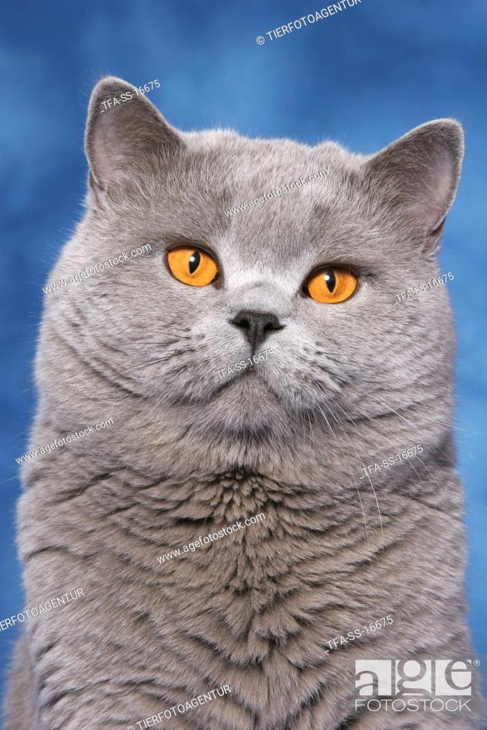 Stock Photo: british shorthaired tomcat portrait.