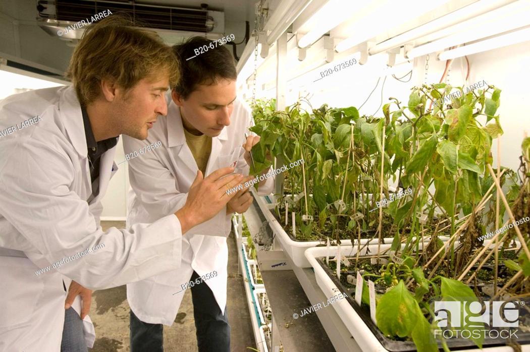 Stock Photo: Evaluation of pepper plant cultivars resistance to fungal diseases, culture room, Departamento de Producción y Protección Vegetal, Neiker Tecnalia.