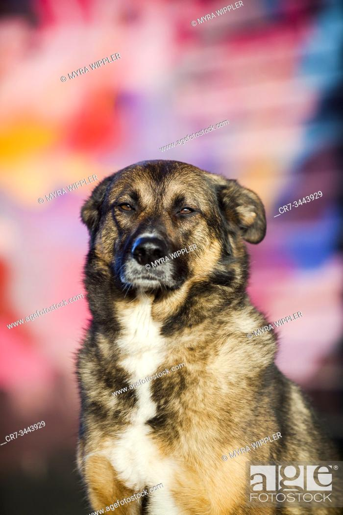 Stock Photo: Brown shepherd street dog crossing sitting in front of street art wall, Eindhoven, The Netherlands.