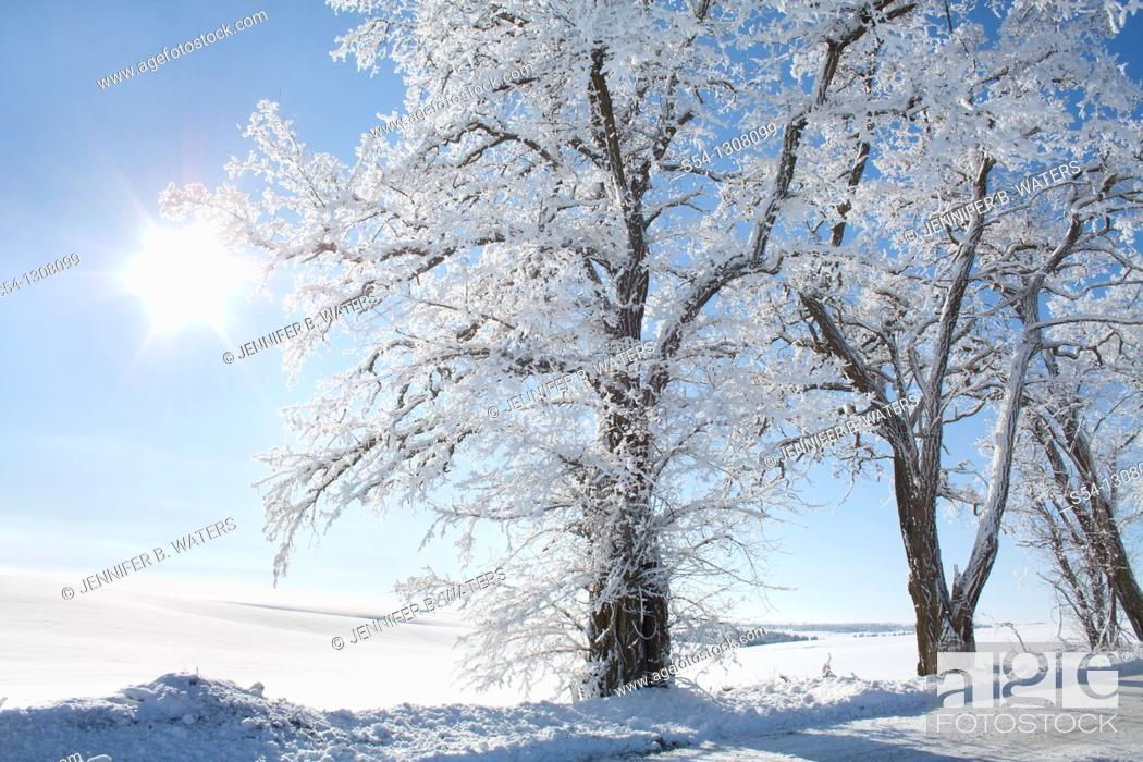 Stock Photo: Locust trees in the Palouse in winter, Washington State, USA.