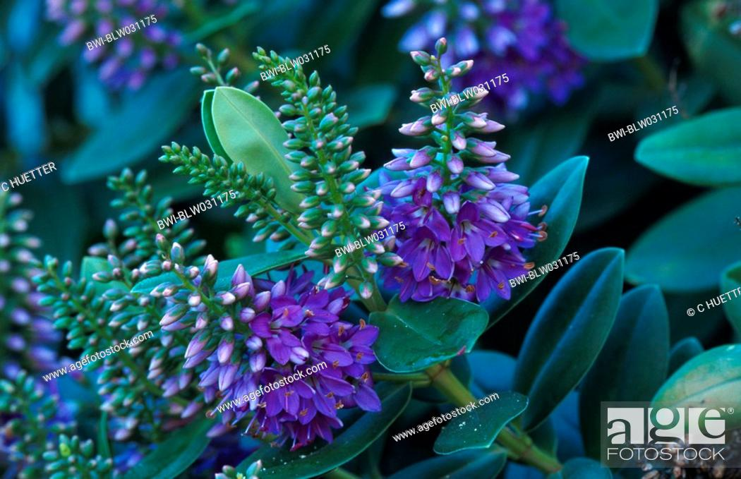veronica Hebe x andersonii, inflorescences, Stock Photo, Picture And ...