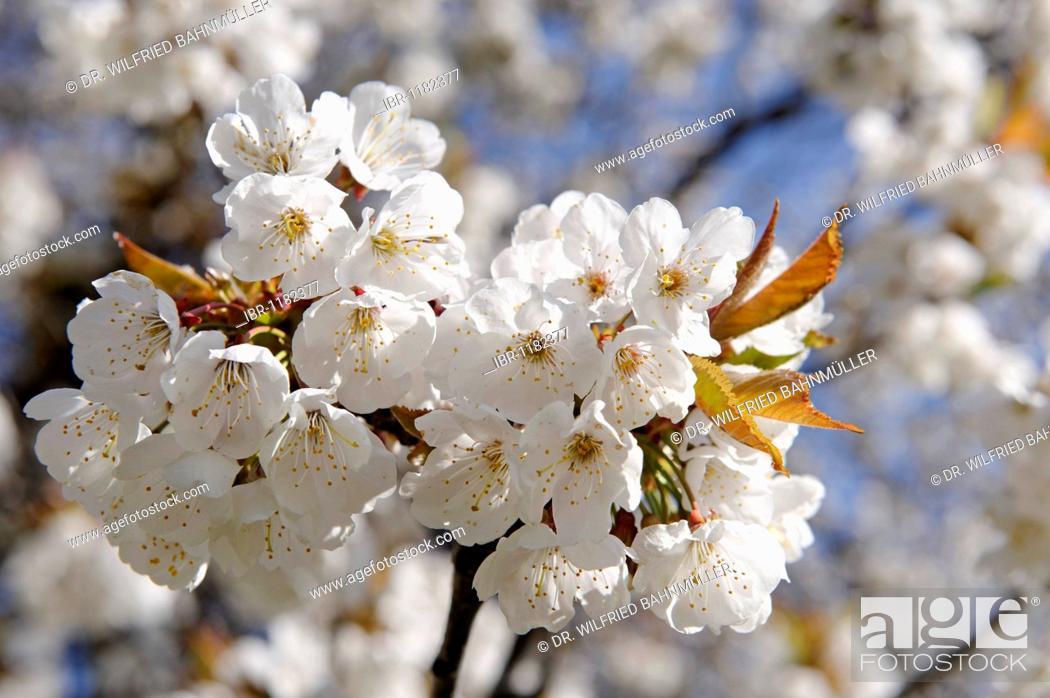 Stock Photo: Blooming Wild Cherry (Prunus avium) near the hotel Knollhof, Gufidaun, Eisack Valley, South Tyrol, Italy, Europe.