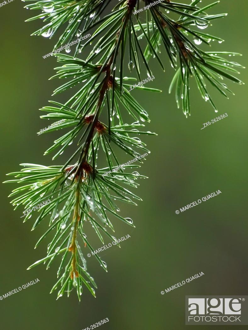 Stock Photo: Droplets on a European silver fir tree branch (Abies alba). Summer time at Montseny Natural Park. Barcelona province, Catalonia, Spain.
