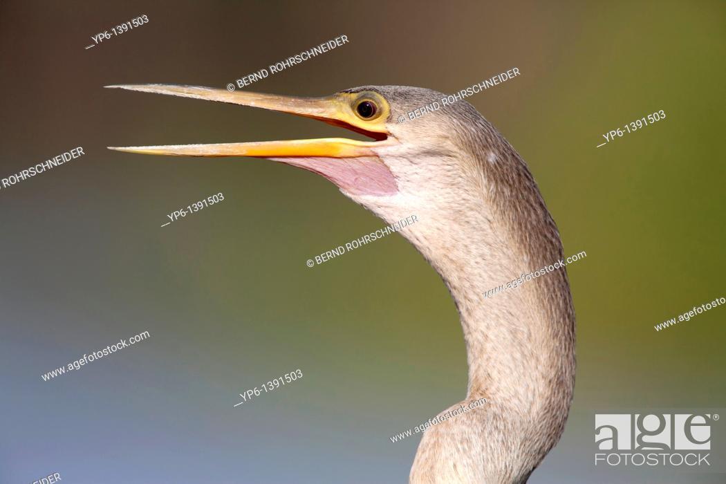 Stock Photo: portrait of an Anhinga Anhinga anhinga Pantanal, Brazil.