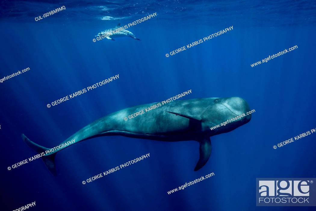 Stock Photo: Pilot whale with Atlantic spotted dolphin, South of Tenerife.