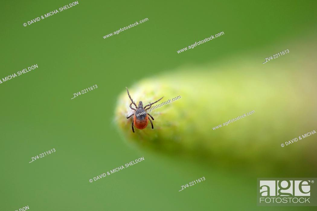 Stock Photo: Close-up of a deer tick or blacklegged tick (Ixodes scapularis) in spring.