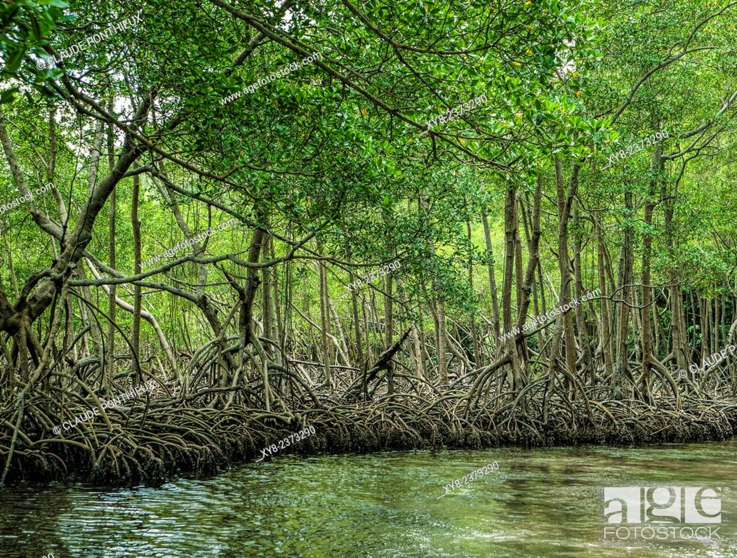 Stock Photo: Mangrove, Los Haitises National Park, Dominican republic.