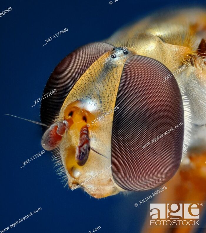 Stock Photo: Extreme close up of the head of the syrphid or hover fly, Eupeodes luniger, showing the structure of the compound eyes.