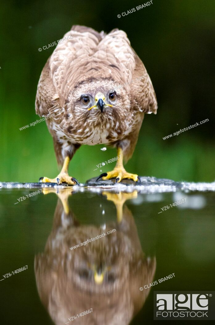 Stock Photo: Common Buzzard Buteo buteo at water pool  Hungary.