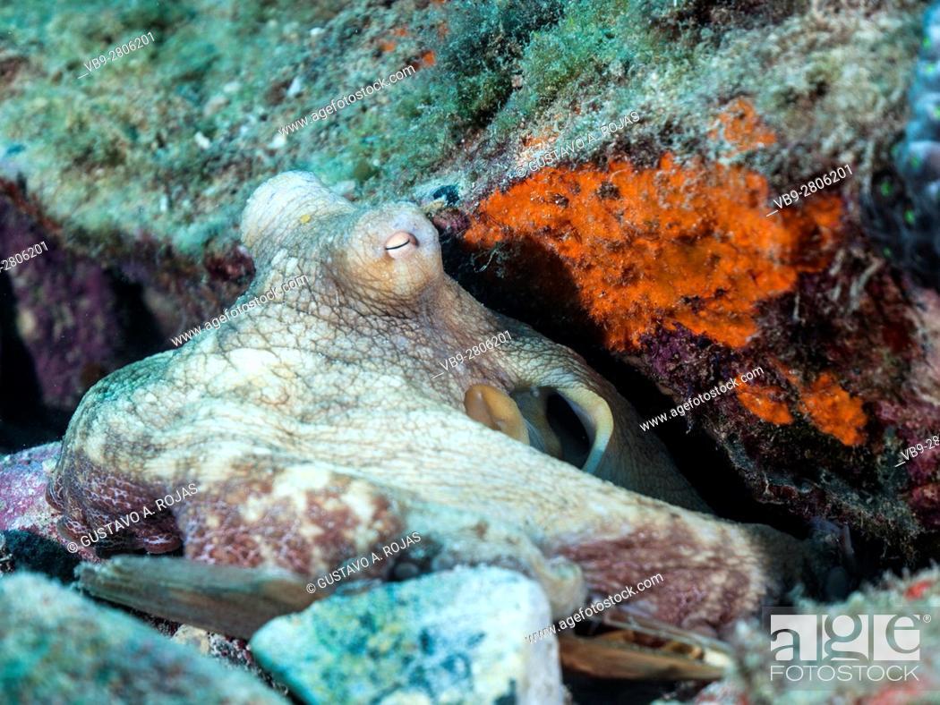 Imagen: Common octopus octopus vulgaris ON reef.
