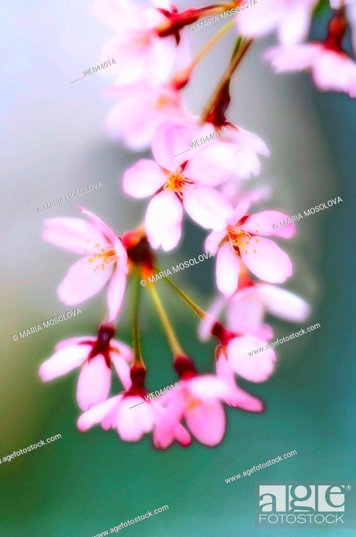 Stock Photo: Cherry Blossom. Weeping Higan Cherry. Prunus subhirtella Pendula. April. Maryland, USA.