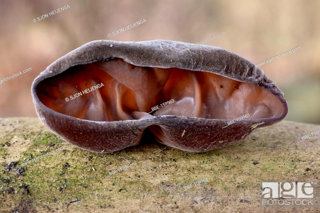 Stock Photo: Jew's ear (Auricularia auricula-judae) on dead wood of Elderberry in the countryside of Deventer.