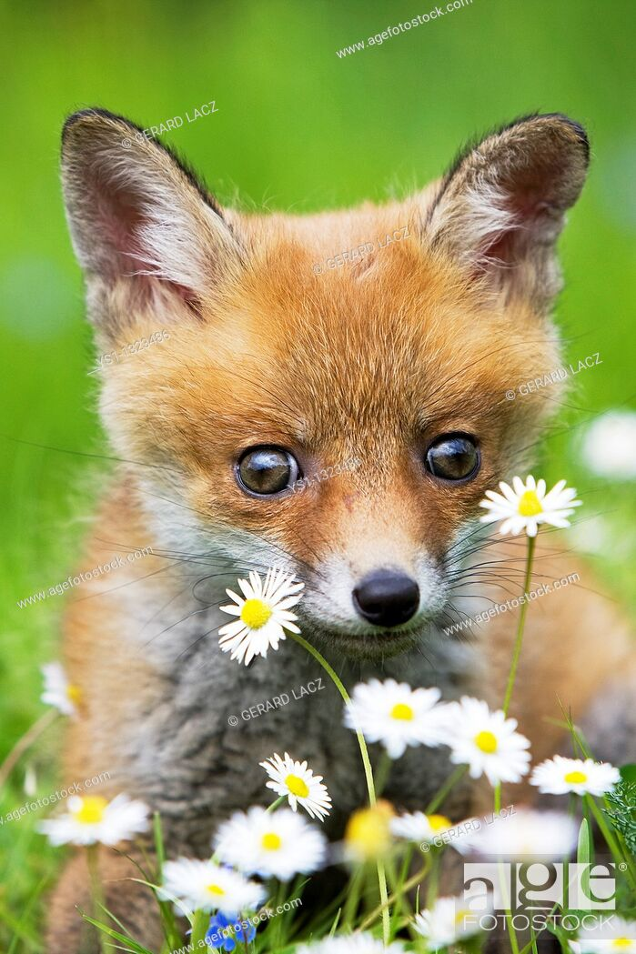 Stock Photo: RED FOX vulpes vulpes, PUP WITH FLOWERS, NORMANDY IN FRANCE.