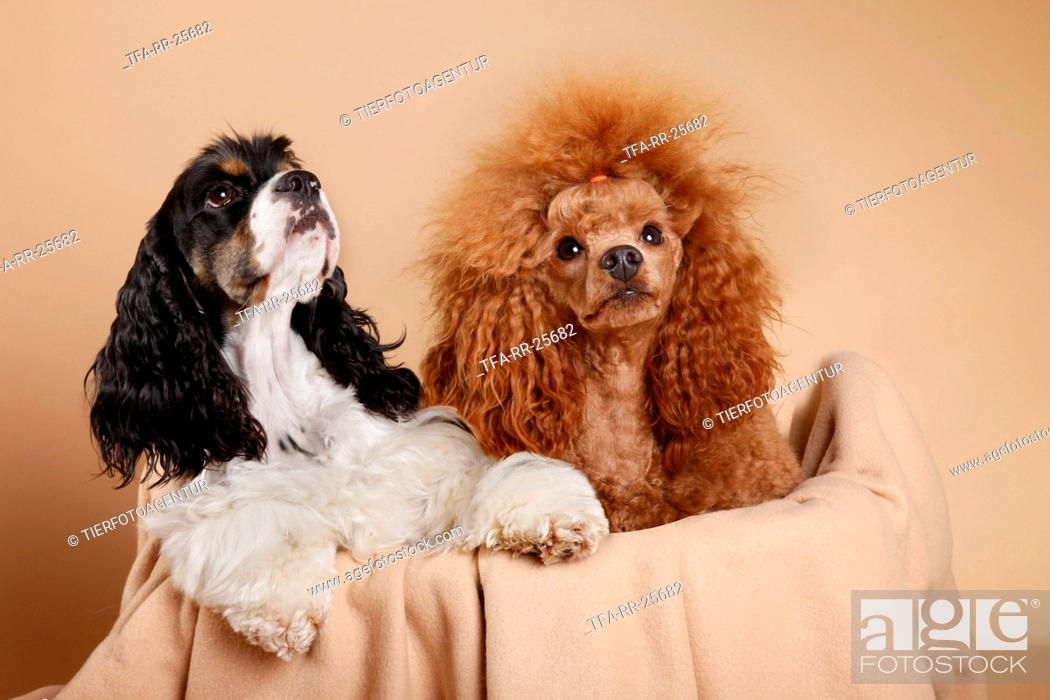 Stock Photo: American Cocker Spaniel and poodle.