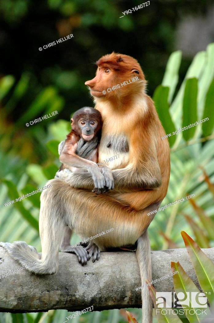 Stock Photo: Proboscis Monkey Female With Blue Baby at the Labuk Bay Proboscis Monkey Sanctuary Sabah Borneo Malaysia.