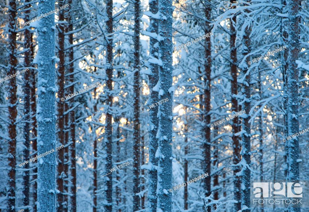Stock Photo: Frost and snow covered young pine  pinus sylvestris  trees in the forest at Winter, LocationSuonenjoki,Finland,Scandinavia,Europe.