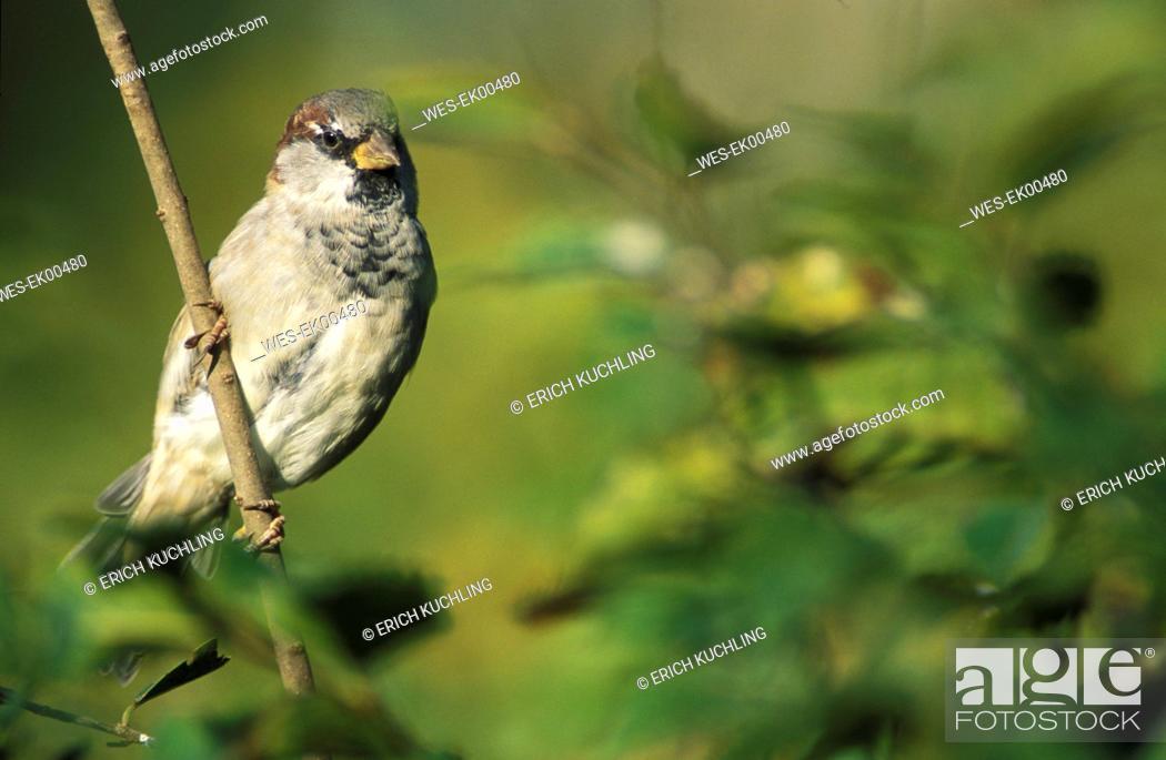 Stock Photo: dunnock sparrow.