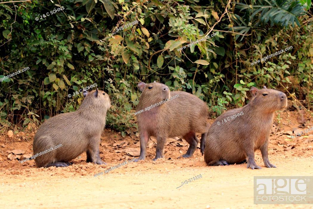 Stock Photo: Capybara, (Hydrochoerus hydrochaeris), youngs on shore, Pantanal, Mato Grosso, Brazil, South America.