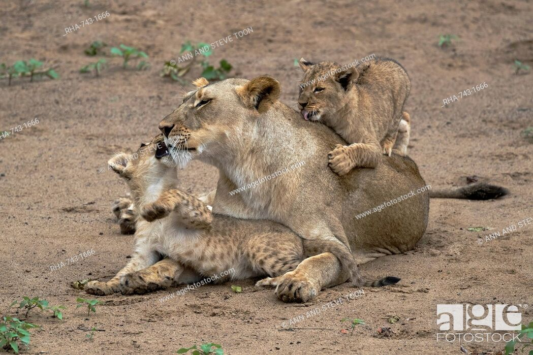 Stock Photo: Lioness (Panthera leo) playing and bonding with cubs, Zimanga Private Game Reserve, KwaZulu-Natal, South Africa, Africa.