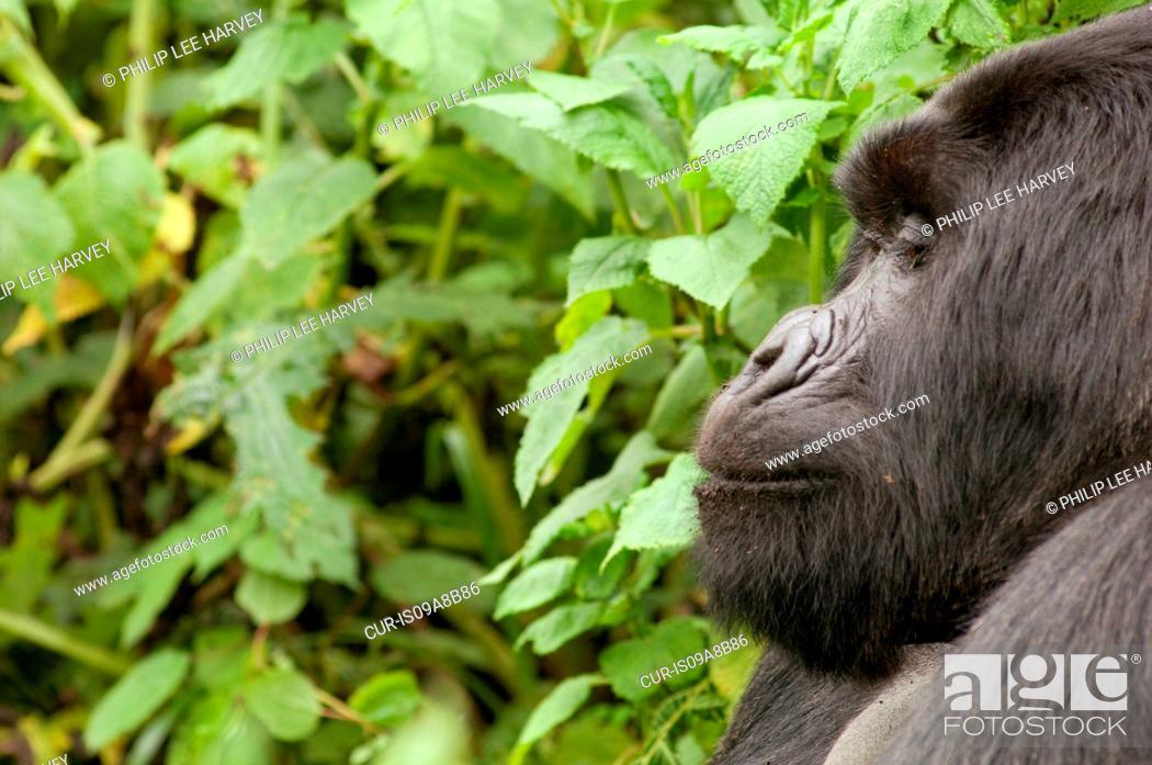 Stock Photo: Silverback Gorilla in the Virunga Mountains, Parc National Des Volcans, Rwanda.