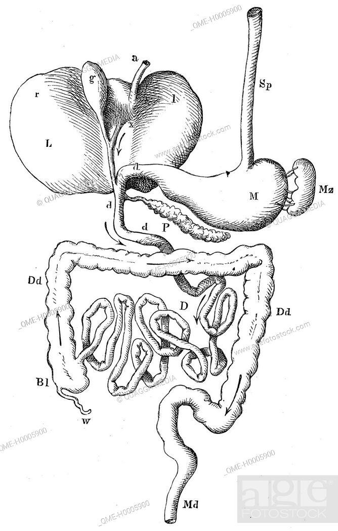 Stock Photo: Human: digestive system.