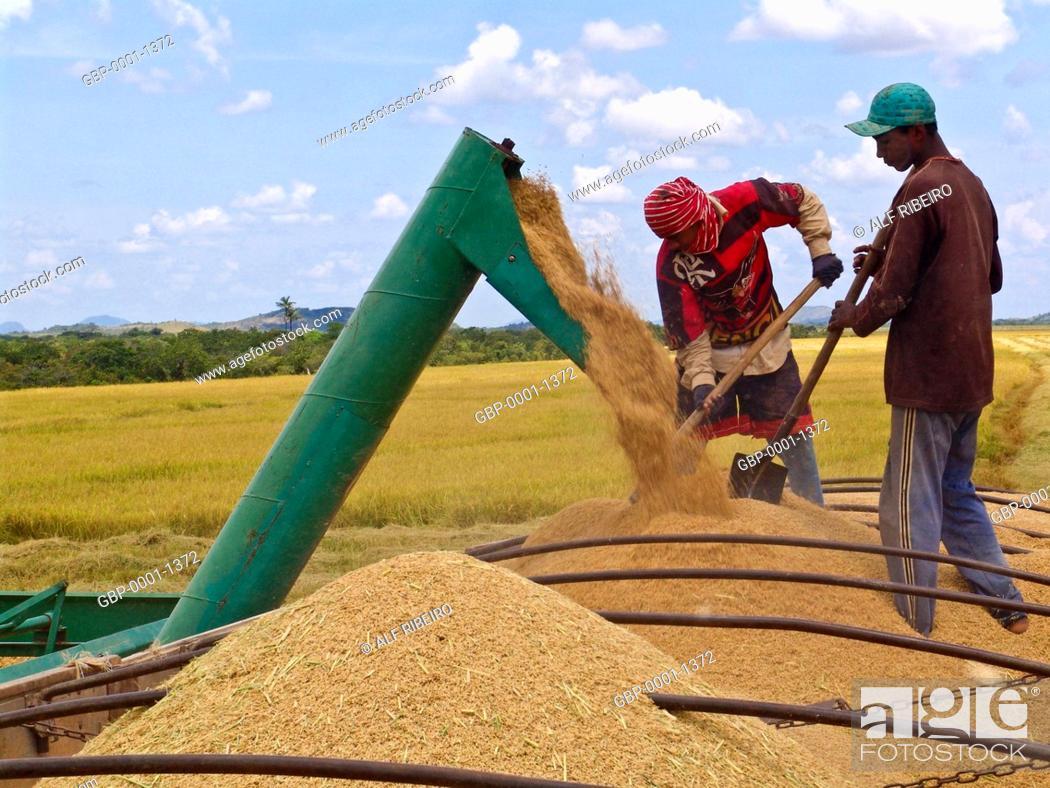 Stock Photo: Mechanized harvesting, rice, Indigenous, Raposa do Sol, Pacaraima, Roraima, Brazil.