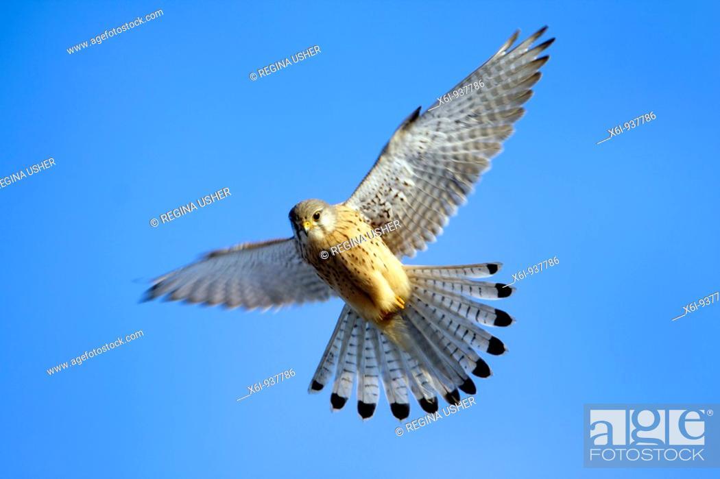Stock Photo: European Kestrel (Falco tinnunculus), male hovering in flight.
