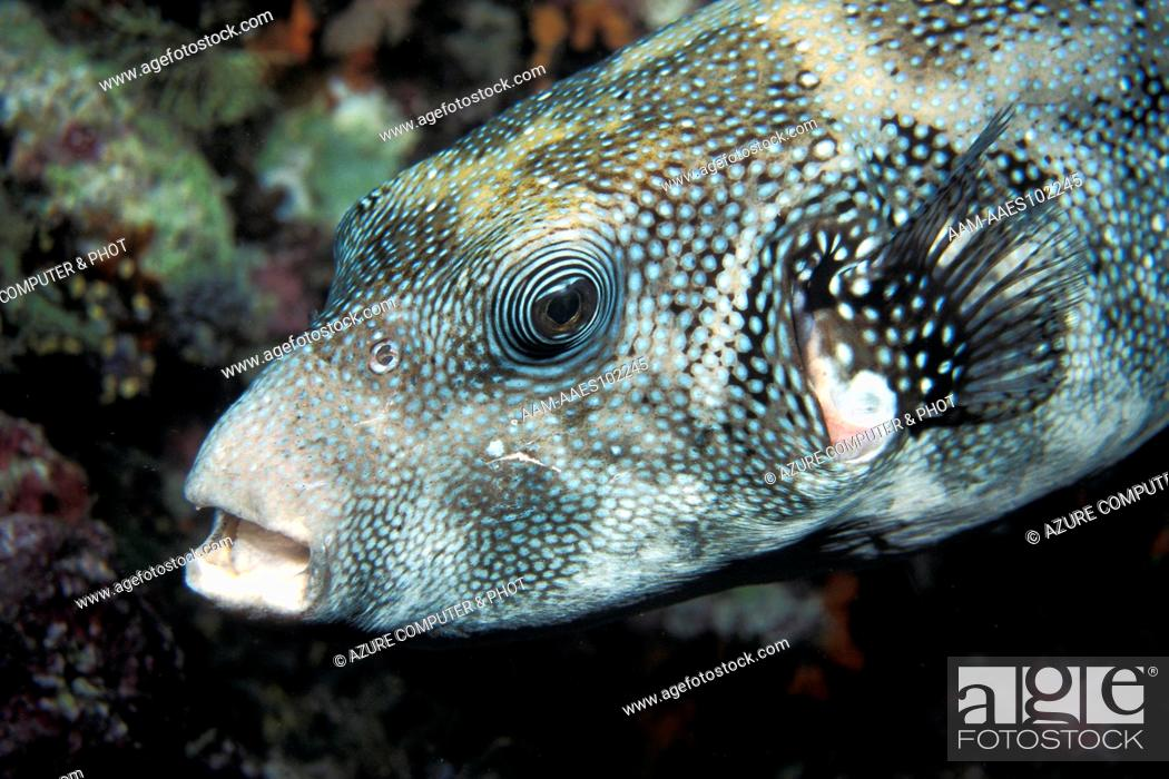 Blue Spotted Puffer fish (Arothron caeruleopunctatus) Tukang Besi ...