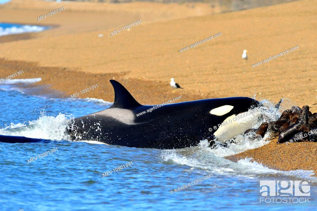 Imagen: Orca / Killer Whale (Orcinus orca). hunting South American Sea Lion - series 11 of 12 - Peninsula Valdes, Patagonia, Argentina, South Atlantic.
