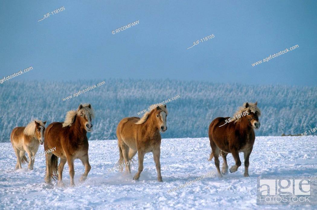 Stock Photo: four Haflinger in snow.