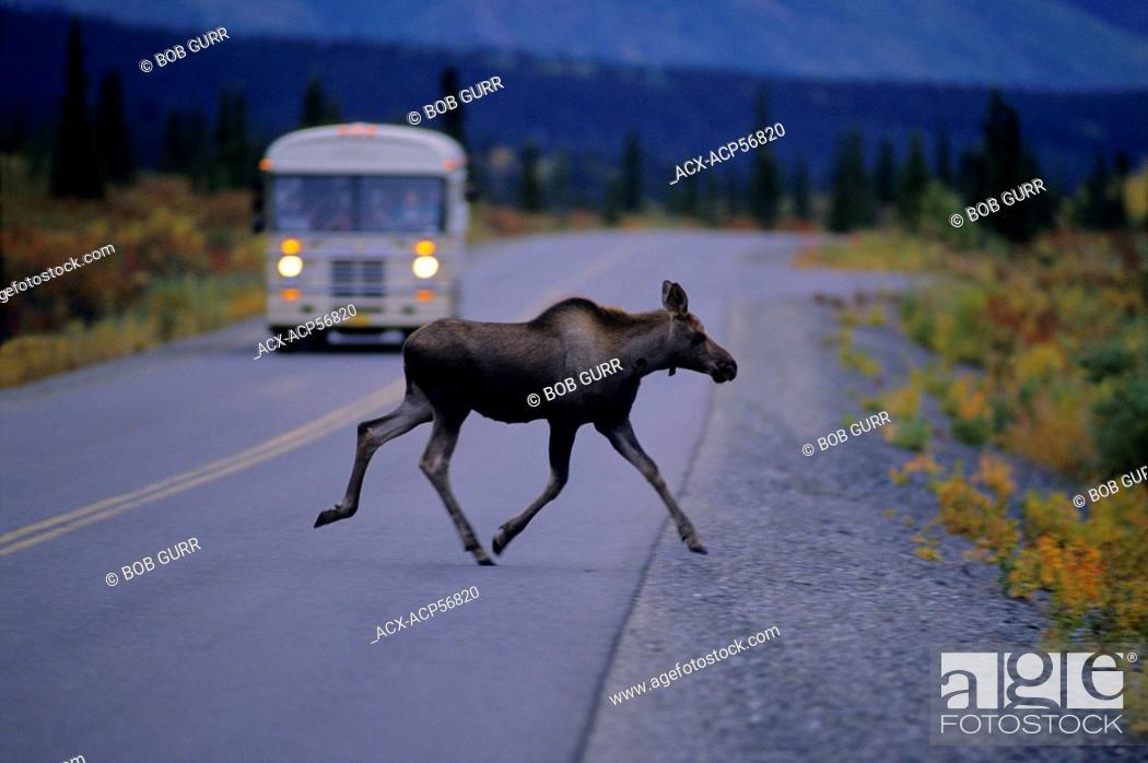 Stock Photo: Moose Alces alces Juvenile crossing highway. Denali National Park, Alaska, United States of America.