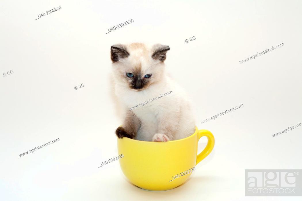 Stock Photo: Birman Kitten in coffee cup.