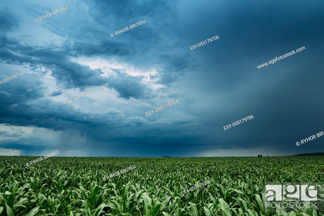 Stock Photo: Rainy Sky With Rain Clouds On Horizon Above Rural Landscape Maize Field. Young Green Corn Plantation. Agricultural And Weather Forecast Concept.