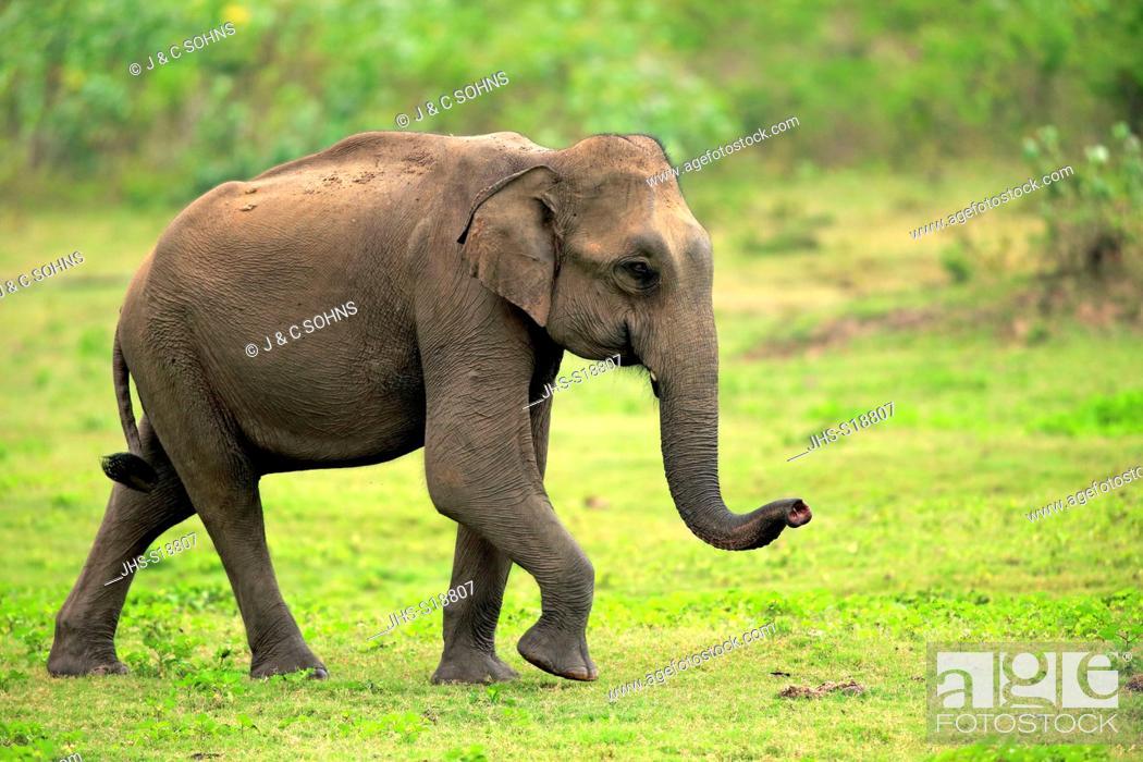 Stock Photo: Sri Lankan Elephant, (Elephas maximus maximus), Asian Elephant, adult male smelling, Udawalawe Nationalpark, Sri Lanka, Asia.