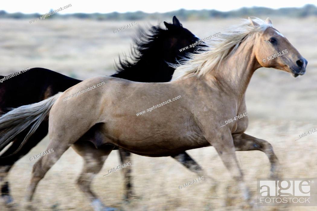 Stock Photo: 'Quarter horse' and/or 'Paint' of USA. Ponderosa Ranch. Seneca. Oregon . USA.