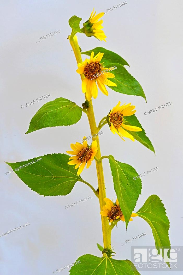 Stock Photo: Multiple Blossoms at one Stem.