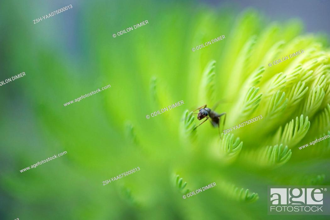 Stock Photo: Argentine ant perched at tip of branch of conifer.