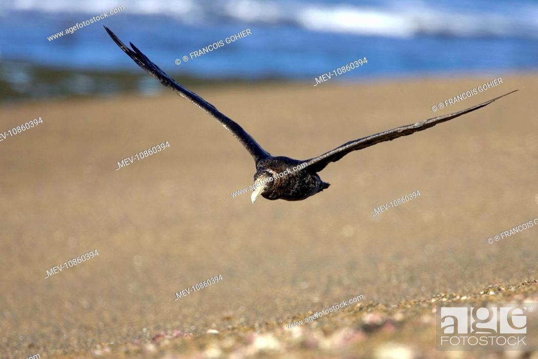 Imagen: Giant Petrel - in flight (Macronectes giganteus). Valdes Peninsula, Patagonia, Argentina. South Atlantic Ocean.
