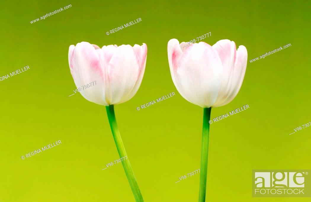 Stock Photo: Tulip, two tulips (Tulipa, Liliaceae).