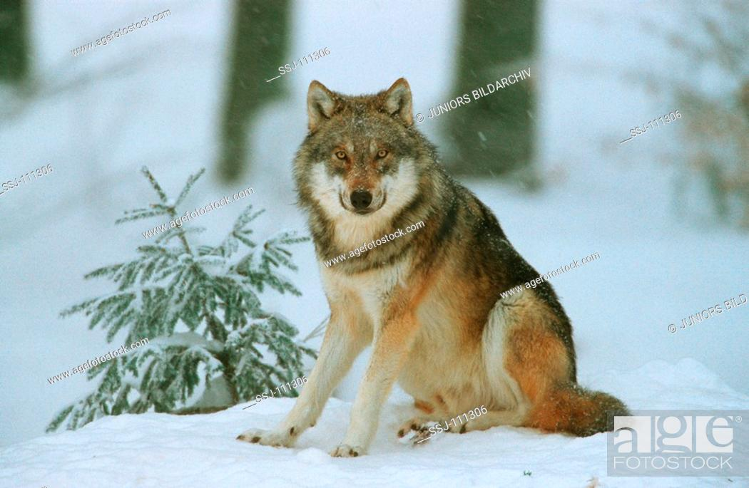 Stock Photo: gray wolf - sitting in snow / Canis lupus.