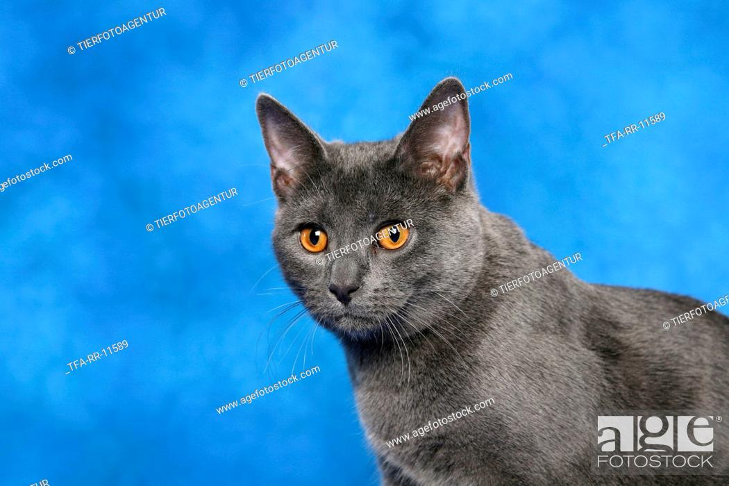 Stock Photo: Chartreux.