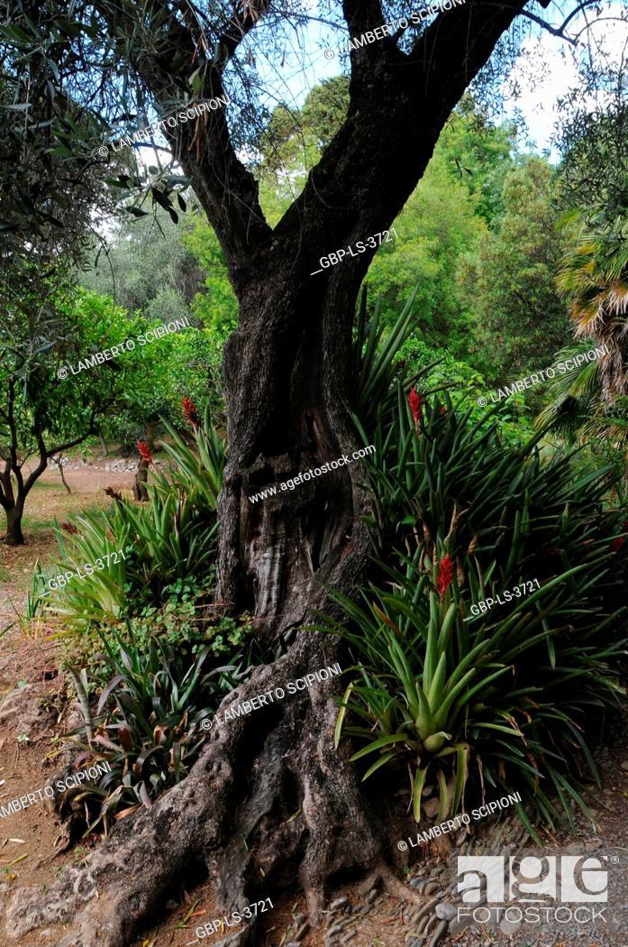 Fiori Yucca.Hanbury Garden 2016 La Mortola Ventimiglia Riviera Dei Fiori